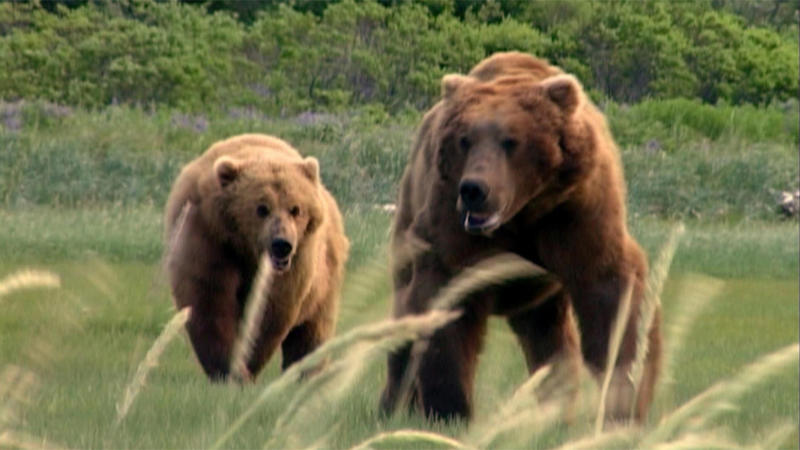 Bears, Humans, and Habituation